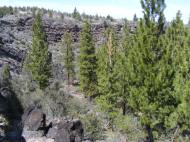 Ponderosa pine growing in Hidden Valley, Lava Beds National Monument