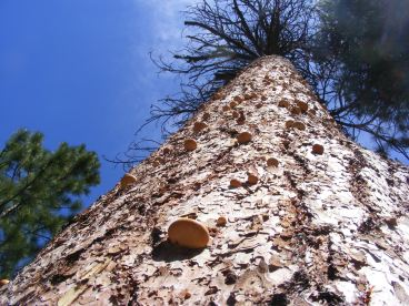 Fungus growing on trunk of dead ponderosa in Hidden Valley, Lava Beds National Monument