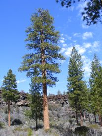 One of numerous stately ponderosa pine found in Hidden Valley of Lava Beds National Monument
