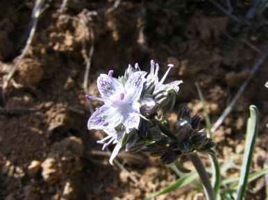 Pretty spring flower in Lava Beds National Monument