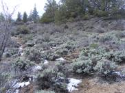 The snow has started to melt from the sagebrush on my westward trek along the northern portion of the Three Sisters Trail