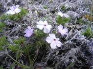 Phlox in Lava Beds National Monument