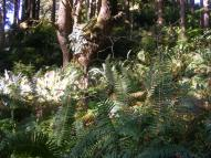 Ferns in the redwood jungle, Miners Ridge Trail, Redwood National Park