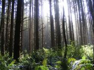 Silence in the redwoods as the late sun pours in, Miners Ridge Trail, Redwood National Park