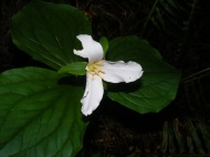 A trillium, part of the Melanthiaceae Family