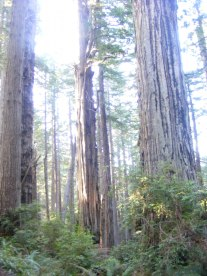 Gentle giants found on the Miners Ridge Trail, Redwood National Park