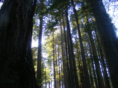 The sun is up, but the late shadows already darken the floor below the canopy in Redwood National Park