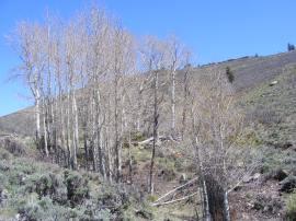 Leaf-less aspen in Dillon Gulch