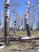 Aspen grove on Dillon Mesa
