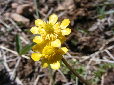 Buttercup on Dillon Mesa