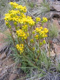 Species number two of yellow Asteraceae on Dillon Pinnacles Trail in Curecanti National Monument