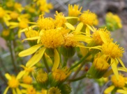 The shear enormity of yellow-flowered Asteraceae species makes identification difficult