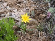 Third species of yellow Asteraceae