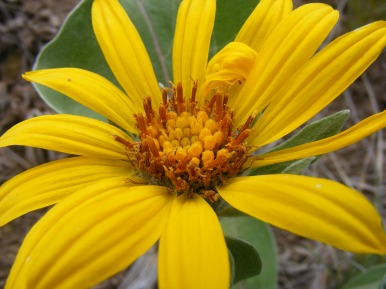 Fourth species of yellow Asteraceae, Curecanti National Recreation Area