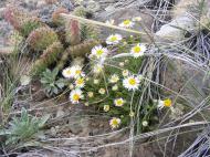 White Asteraceae, Curecanti National Recreation Area, below Dillon Pinnacles