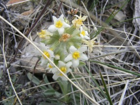 Boraginaceae found near Dillon Pinnacles in Curecanti National Recreation Area