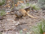Ground squirrel on Dillon Pinnacles Trail in Curecanti National Monument