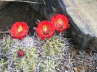 Cactaceae, possibly Echinocereus spp., found near Texas Creek Gulch above the Arkansas River