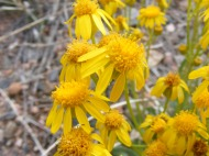 Small yellow suns found on this cloudy day lends a cheerful feeling to my hike on Trail 6025 near Texas Creek Gulch
