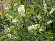 Prunus virginiana, Rosaceae on Reese Gulch