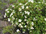 Rosaceae in bloom, Reese Gulch