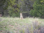 Coyote not happy with our presence