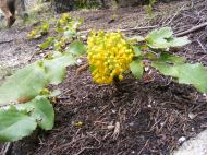 Taylor Canyon has this Holly or Oregon Grape