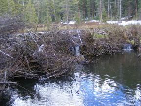 Beaver dam on South Quartz Creek