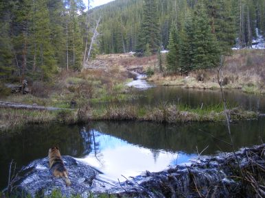 Draco goes for a swim in a beaver pond on South Quartz Creek