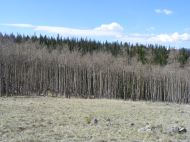 The higher aspen on the Rainbow Trail at the northern end of the Sangre de Cristo Range have yet to grow their leaves