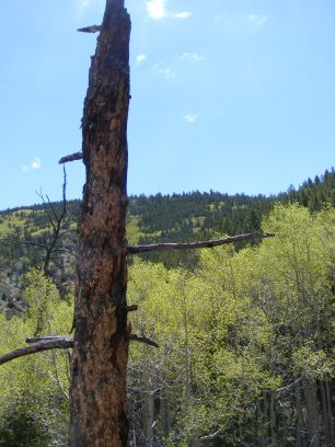 Lonely, bare bole standing over a grove of aspen