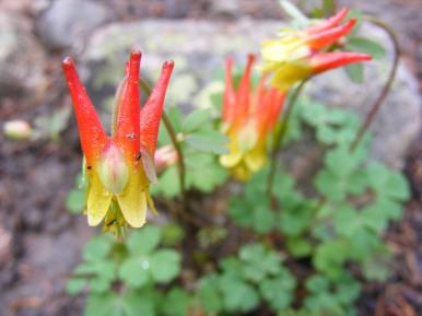 Aquilegia elegantula, possibly, on the Mill Lake Trail