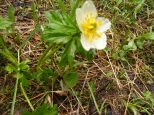 An anemone, Ranunculaceae, on the Mill Lake Trail