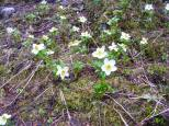 Patch of anemones, these love the early, wet season