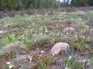 A field of Spring Beauties; Claytonia spp., Portulacaceae