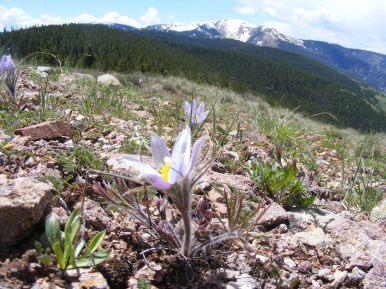 Wild crocus on Reno Ridge, Cement Mountain in the background