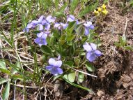 A violet violet, viola spp., Violaceae, on Deadman Gulch. A mustard seen in the upper right