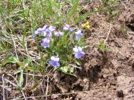 There are a surprising diversity of violet species found in the Rocky Mountains and the Gunnison National Forest