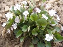 A white violet, viola spp., Violaceae, on Deadman Gulch