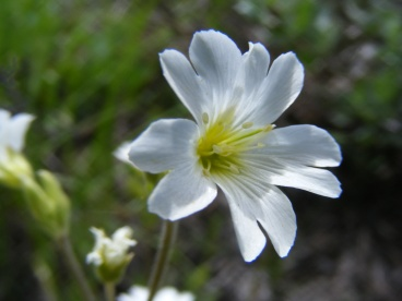 Chickweed, Cerastium spp.