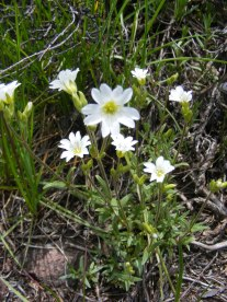 Cerastium spp. part of Caryophyllaceae, or the Pink Family