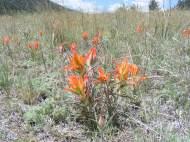Orange paintbrush (Castilleja spp.) on the Ute Creek Trail