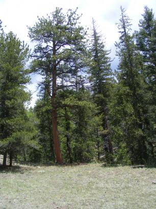 Ponderosa pine mixed with Douglas fir on Ute Creek