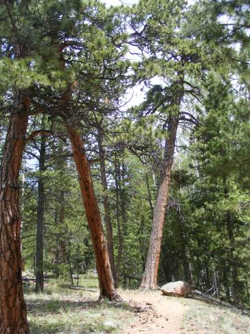 Ute Creek Trail winds between these stately ponderosa pine