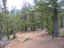 Bristlecone pine on the Ute Creek Trail within the Lost Creek Wilderness of the Pike National Forest