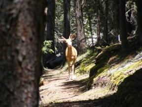 Buck in velvet on the Wigwam Trail