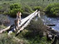Draco on the sketchy log bridge over Lost Creek