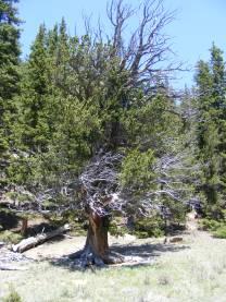 A bristlecone pine, one of my favorite conifers