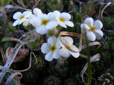 A white forget-me-not? in the Tarryall Mountains