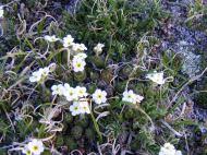 Alpine flower near Bison Peak in the Lost Creek Wilderness